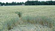 2007年6月29日荷兰Bosschenhoofd Noord-Brabant麦田怪圈